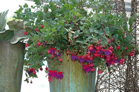 piante fiorite da appartamento foto piante d appartamento piante da interno quali sono le