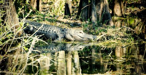 everglades airboat tours near naples fl everglades excursions information must do visitor guides