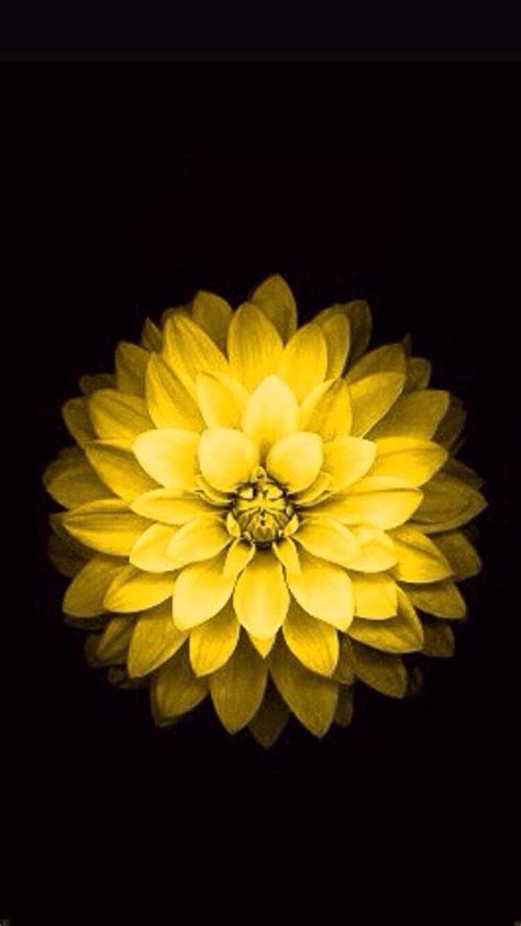iphone 6 flower wallpaper how do i get the iphone 6 flower wallpaper from the apple