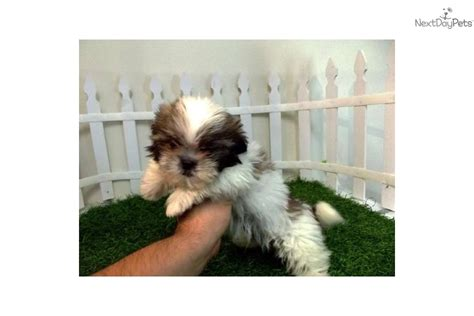 miniature shih tzu puppies for sale in alabama shih tzu breeders california ca imperial shih tzu puppies for sale breeds picture