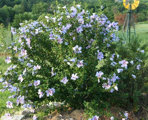hibiscus syriacus blue bird 3363 garden musings stalwart roses