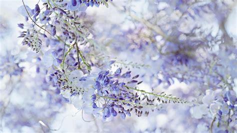 wisteria wallpaper wisteria wallpaper wallpaper high definition high