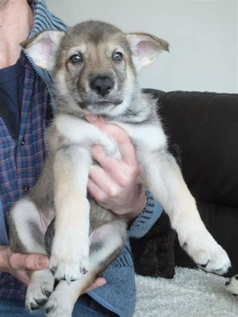 saarloos wolfdog puppies for sale csv saarloos wolfhound inuit puppies for sale maidenhead berkshire pets4homes