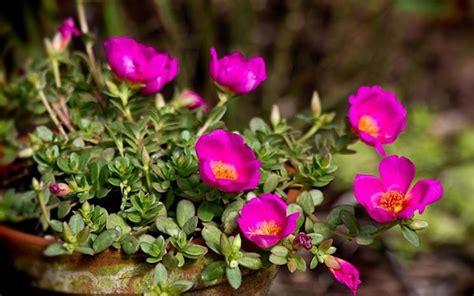 di notte in vaso portulaca portulaca oleracea piante annuali la