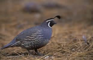 california quail the life of animals