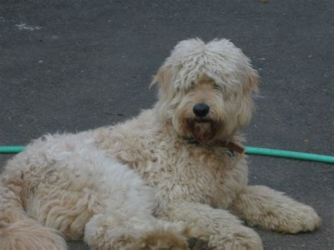 face hairstyle goldendoodle 1000 images about goldendoodle haircuts on pinterest