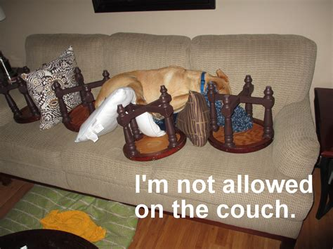 dog won t stay off couch so comfy