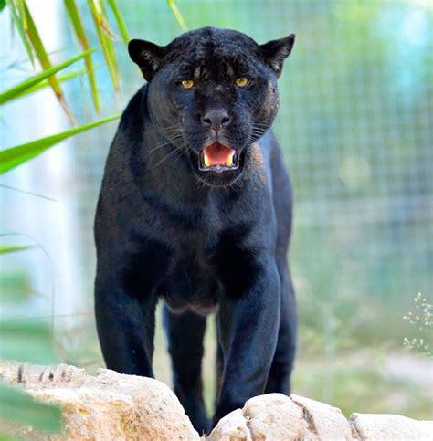 pictures of black jaguars black jaguar animal running www pixshark images
