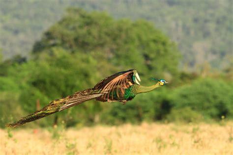 merak hijau agen sabung ayam hewan tercantik didunia merak agen