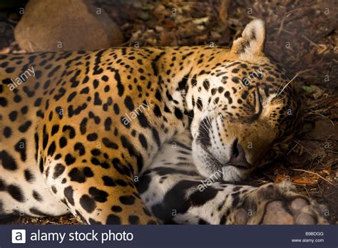jaguars center jaguar panthera onca taking a nap at las pumas rescue
