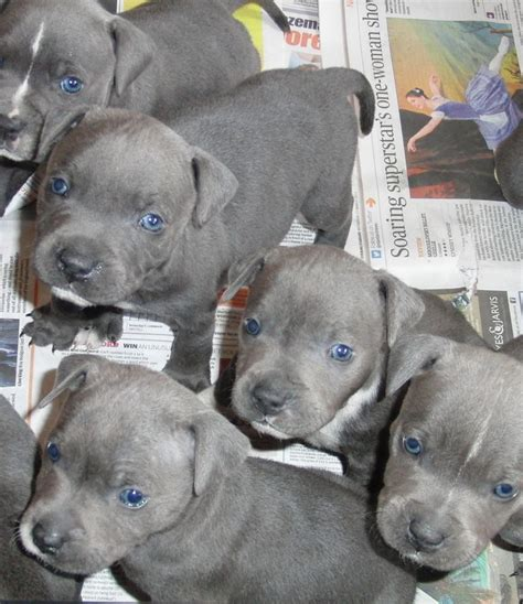 puppies with blue for sale blue staff puppies for sale ashford kent pets4homes