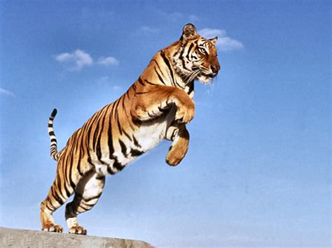 how to a from jumping on you the gallery for gt tiger jumping at you