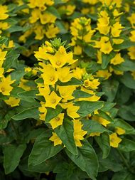 Best 25 ideas about perennial flower identification find what you yellow flower perennial plant identification mightylinksfo