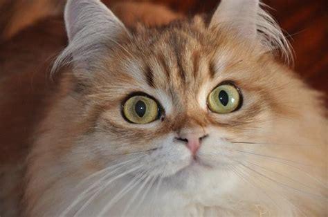 gatti persiani prezzi gatto siberiano carattere e prezzo idee green