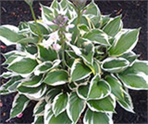 perennial plants flowers at the home depot