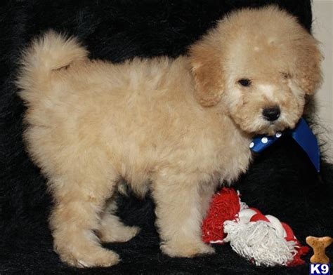 f1b mini goldendoodle puppies for sale f1b mini goldendoodles for sale kremererin goldendoodle puppies for sale