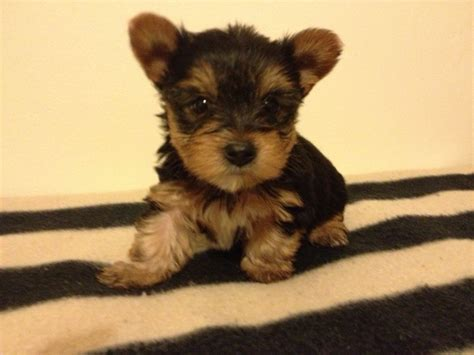 boy yorkie puppies for sale tiny teacup yorkie puppies sale breeds picture