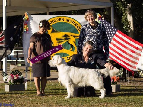 taft golden retrievers alubyc golden retrievers flatcoated retrievers puppies breeders gold coast