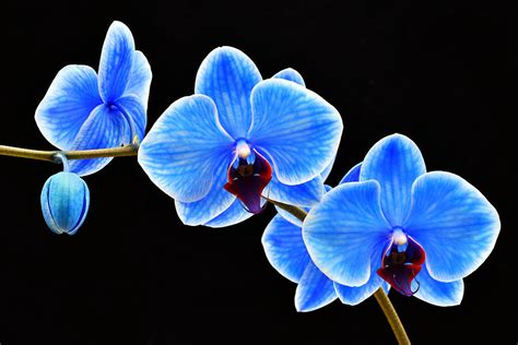blue orchid 7 stunning orchids for your home pollen nation