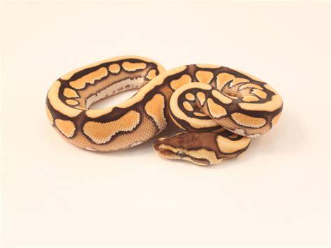 cinnamon tiger cinnamon tiger morph list world of ball pythons