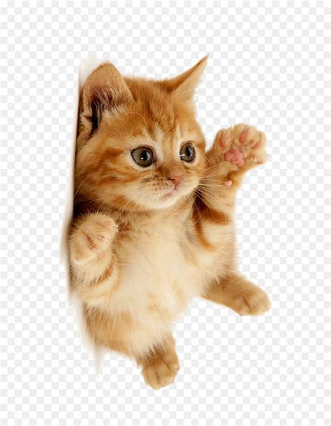 cute cat png    transparent