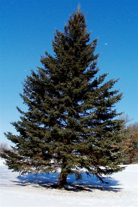 pine tree google search trees pinterest pine tree
