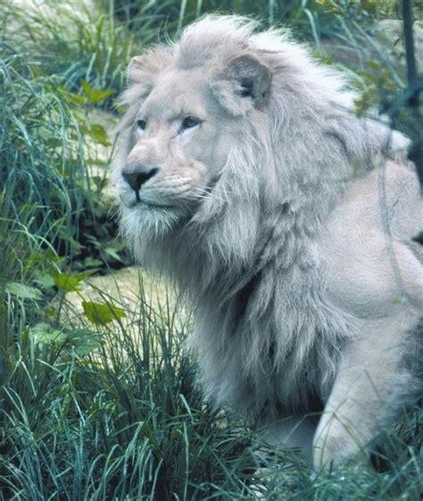 imagenes leon blanco fotos lista concurso el usuario integral 7 etapa quot tu animal
