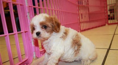 puppies for sale atlanta stunning cavapoo puppies for sale in atlanta ga at puppies for sale local