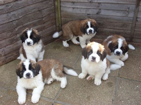 st bernard puppy for sale bernard pups for sale stowmarket suffolk pets4homes