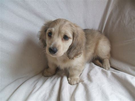 mini longhaired dachshund puppies miniature longhaired dachshund boy puppy crewe cheshire pets4homes