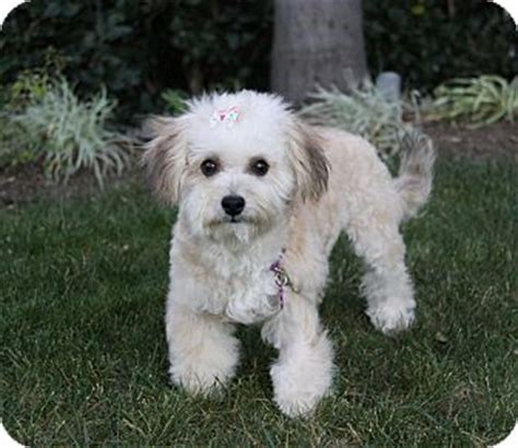 miniature poodle and yorkie mix coco adopted newport ca poodle miniature yorkie terrier mix