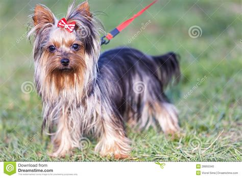 yorkie leash adorable terrier on a leash stock photo image 28955340
