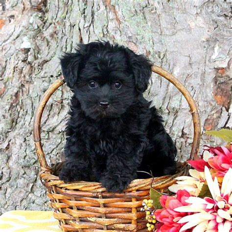 yorkie poo price yorkie poo puppies for sale from loving breeders greenfield puppies