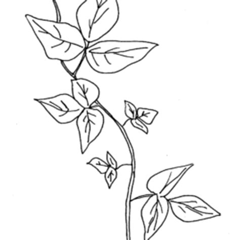 Coloring Page Vine And Branches by Raspberries On Vine And The Branches Coloring Sheets