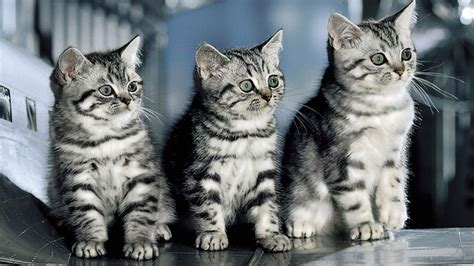 wallpaper of cat download free cat wallpapers for desktop wallpaper cave