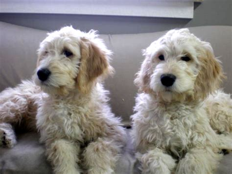 doodle puppies for sale michigan mini goldendoodle dogs for sale in michigan pets wallpapers