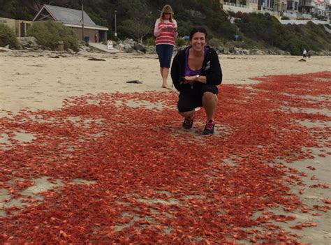 Southern California Crustaceans The Heiress Crab by Pelagic Crabs Still Swarming Orange County