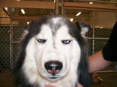 Annoyed Dog Meme - annoyed dog blank template imgflip
