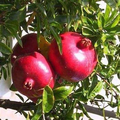 Benih Buah Delima Merah jual bibit unggul tanaman delima merah pomegranate
