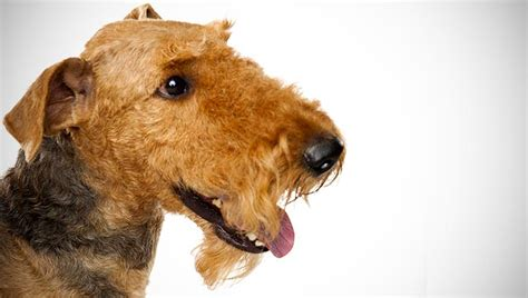 Airedale Terrier : Dog Breed Selector : Animal Planet