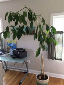 Fruit Trees You Can Grow Indoors - fruit trees how should i prune a large indoor avocado plant gardening amp landscaping stack