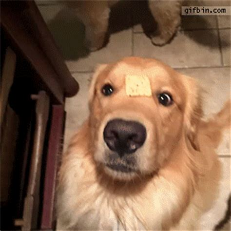 animated golden retriever golden retriever gif find on giphy