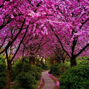 pictures of cherry blossom trees cherry blossom trees cherry blossom trees pinterest