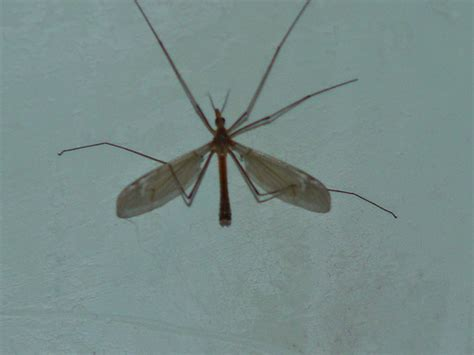 mosquito hawk definition meaning