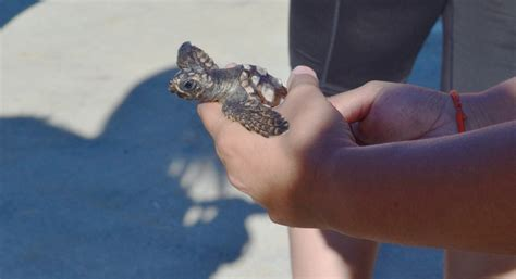 Elly Turle photos cfcc students release rescued baby loggerheads into the atlantic lumina news