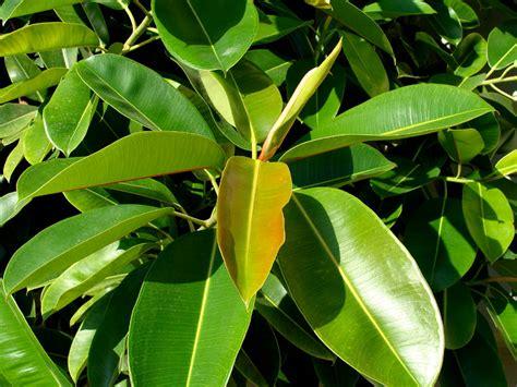 ficus elastica the garden of eaden