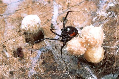 Mittel Gegen Spinnen by Mittel Gegen Spinnen Haus Spinnen Tiere Arten Giftige Bek