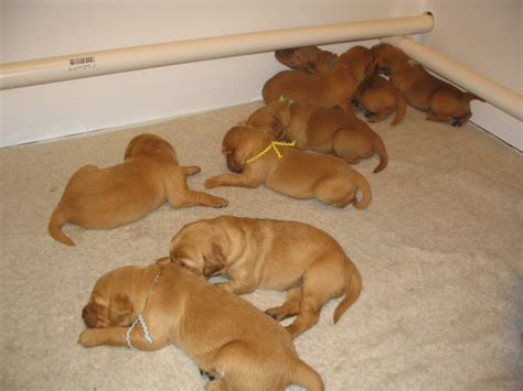 golden retriever newborn puppies golden retriever puppies