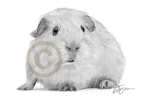 pencil drawing of a guinea pig by artist gary tymon