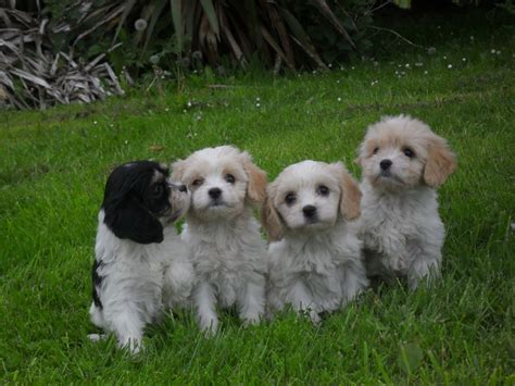 puppies for cavachon puppies for sale barrow upon humber lincolnshire pets4homes